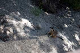 Meerkat-suspect